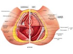 perineal-muscles